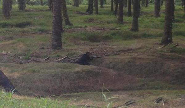 【圖話故事:軍人埋伏】由《星洲日報》記者攝下的照片顯示一名大馬軍人正在油棕園內埋伏。