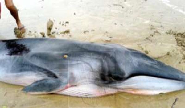 ikan-paus-bintulu-2