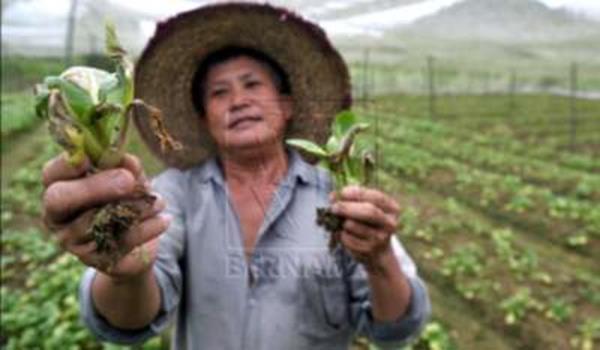 Petani menunjukkan sayur yang rosak akibat hujan lebat berterusan.