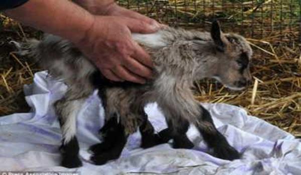 Anak kambing berkaki lapan