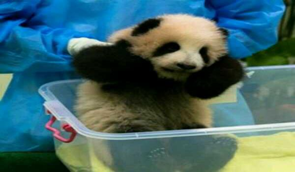 anak-panda-zoo-negara