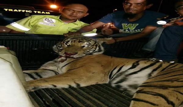harimau belang mati dirempuh MPV di LPT2 - 4